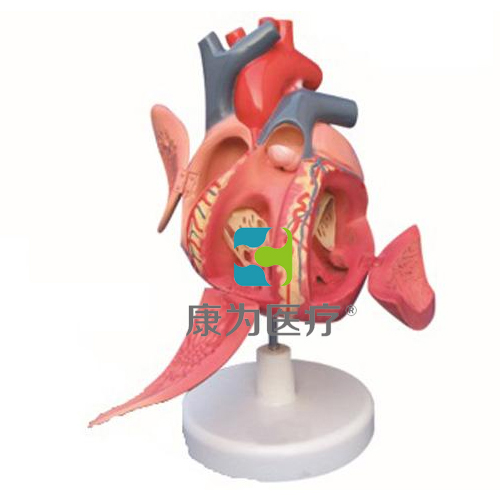 """吉安""""康为医疗""""心脏传导系模型"""
