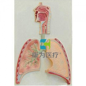 """""""康为医疗""""呼吸系统概观模型"""