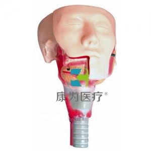 """""""康为医疗""""唾液腺及咽肌解剖模型"""