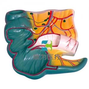 """""""康为医疗""""阑尾和盲肠解剖模型"""
