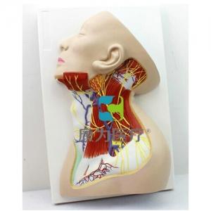 """""""康为医疗""""颈部神经模型"""