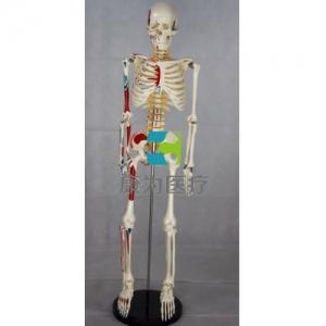 """""""康为医疗""""85CM人体骨骼带神经椎间盘附半身肌肉起止点模型"""